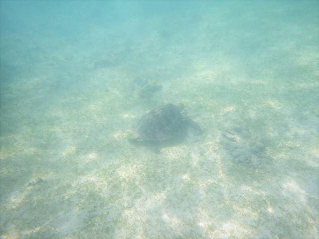 波照間のウミガメ