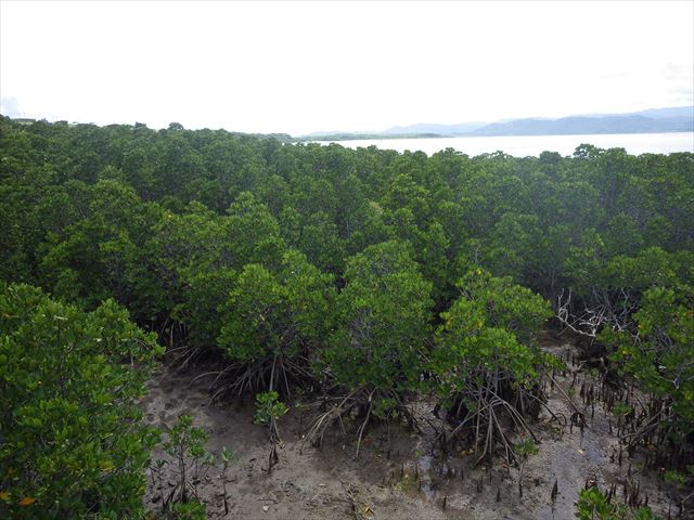 マングローブ-小浜島