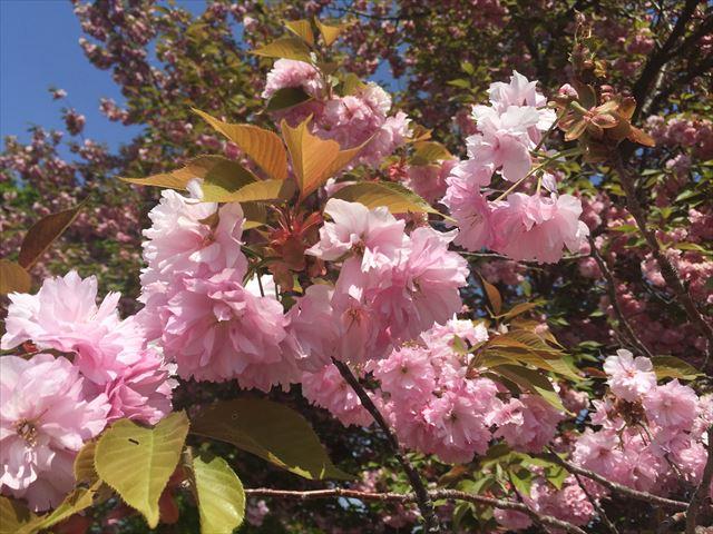 黒姫高原-八重桜
